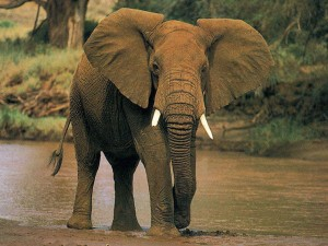 This is an African Elephant after his drink