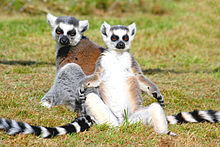 Two ring-tailed lemurs sun bathing