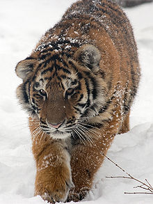 A Siberian Tiger cub in the snow.   Do you think they're cute?  I do!