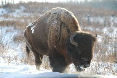 This is an American bison looking for grass beneath the snow