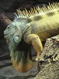 This is a green iguana showing off his climbing skills