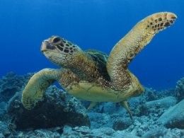This is a green sea turtle minding its own business