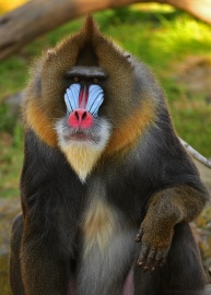 A male mandrill showing off his colourful face