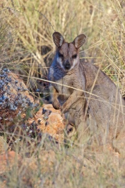 This is a purple-necked wallaby with her joey