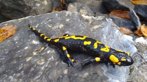 Common Fire Salamander