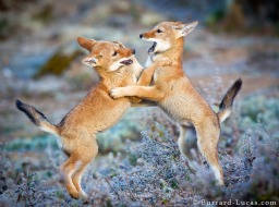 A couple of boisterous two-month old pups playing on a frosty morning! (Photo by Will Burrard-Lucas)