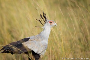 This is a secretarybird looking for a juicy snake to eat (photo by Will Burrard-Lucas)