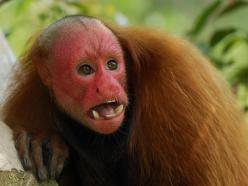 bald-faced uakari