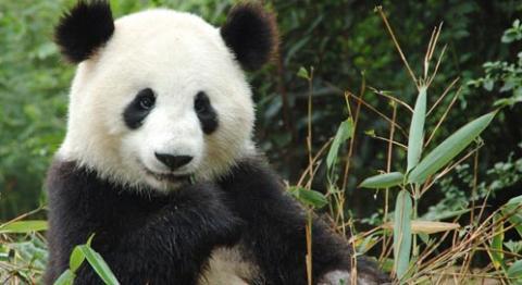 giant panda facts for kids - Khafre
