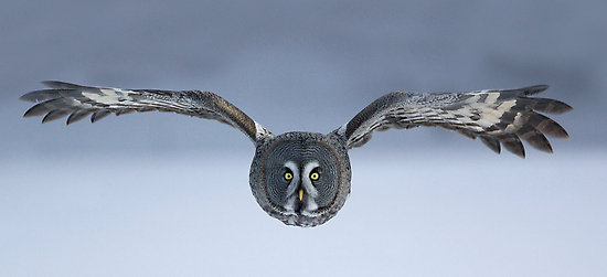 Great Grey Owl Flying 5 Interesting Facts Ab...