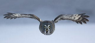 Here is a great grey owl flying over the snow, looking for prey