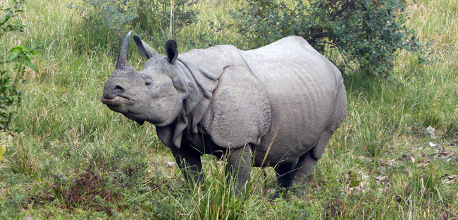 5 Interesting Facts About Indian Rhinoceroses | Hayden's Animal Facts