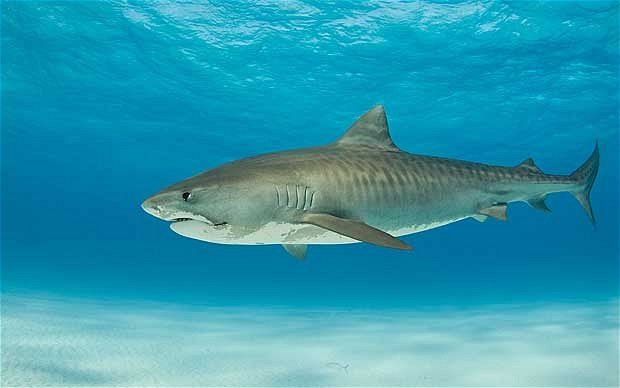 5 Interesting Facts About Tiger Sharks Hayden S Animal Facts