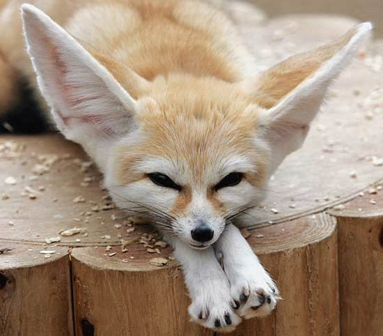 5 Interesting Facts About Fennec Foxes | Hayden's Animal Facts