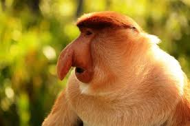 Here is a male proboscis monkey.  I don't know what the girls see in him.