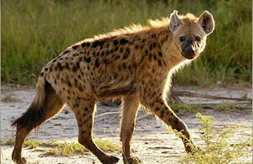 5 Interesting Facts About Spotted Hyenas | Hayden's Animal Facts