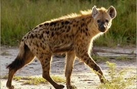 This is a spotted hyena trotting along and minding its own business