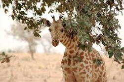 niger giraffe