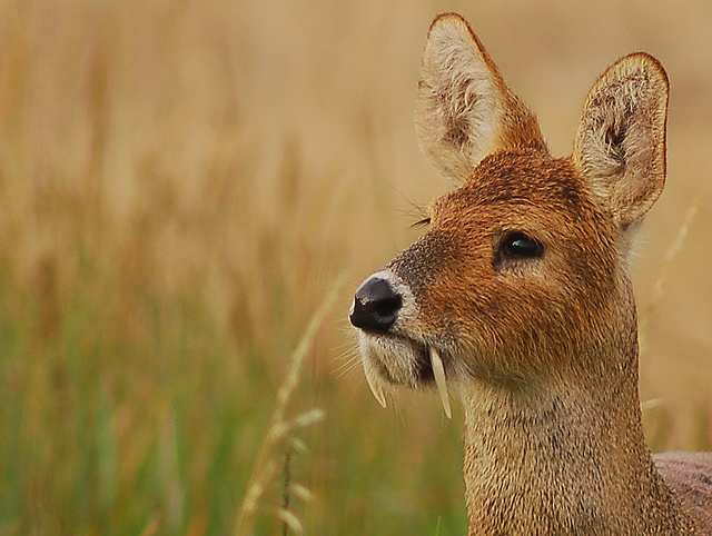 Chinese Deer With Fangs Chinese Water Deer
