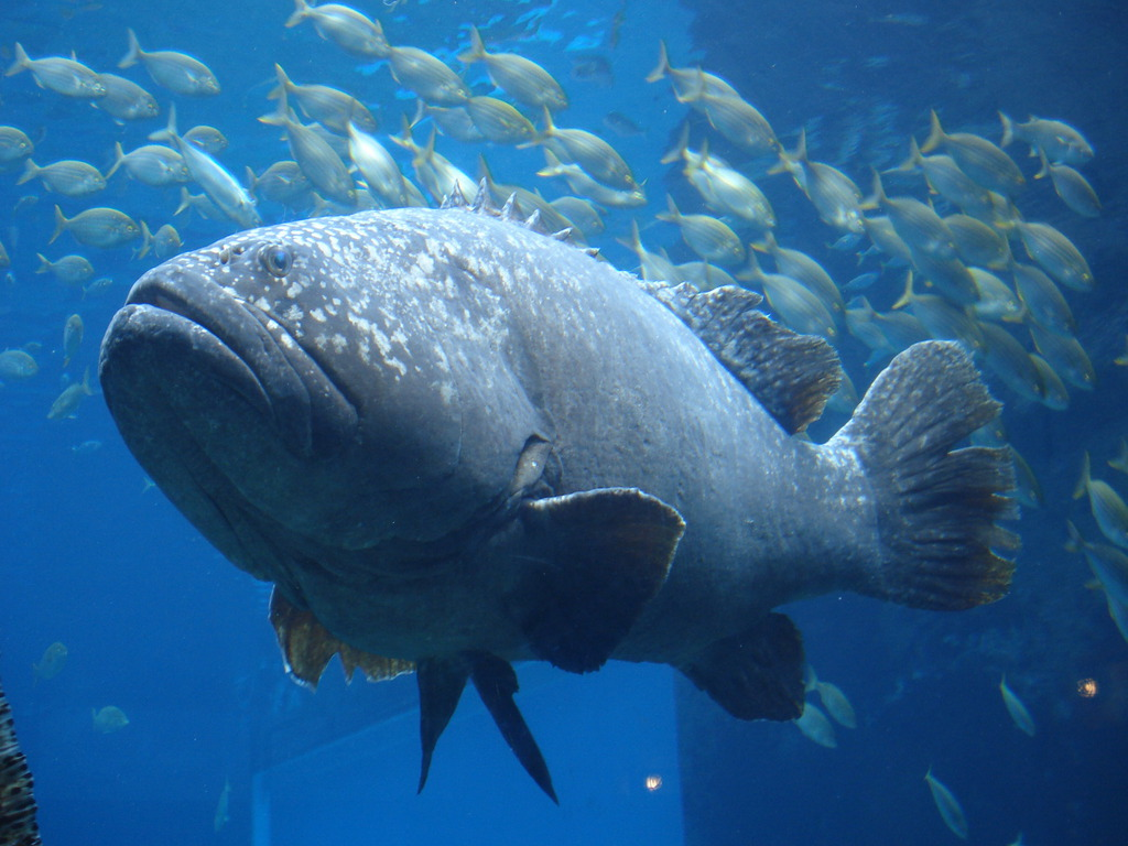 5 interesting facts about giant groupers hayden 39 s animal