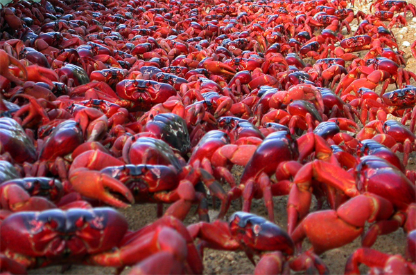 Christmas Island Red Crab.5 Interesting Facts About Christmas Island Red Crabs