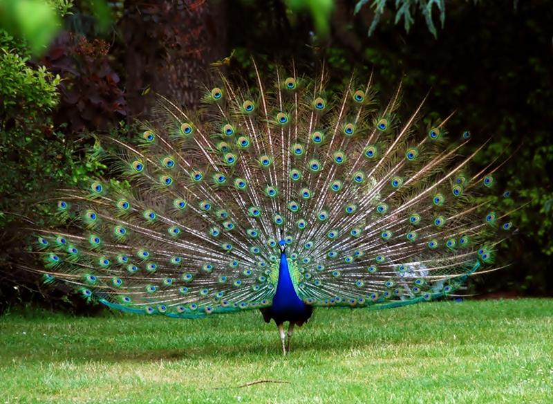 5 Interesting Facts About Indian Peafowl | Hayden's Animal Facts