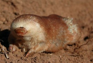 Julianas golden-mole