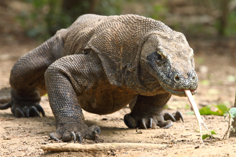 5 Interesting Facts About Komodo Dragons   Hayden's Animal Facts