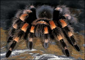 5 Interesting Facts About Mexican Redknee Tarantulas ... on map where do tarantula, how long do tarantulas live, map of where camels are from, where do tarantulas live, map where do lizards live on a glass, map of brown recluse spiders in the us, map of arkansas, were tarantula live, map where do praying mantis live, map of mississippi natural resources, maps of where the brown widows live, map of tarantulas in us, map of tarantula hawk wasp,