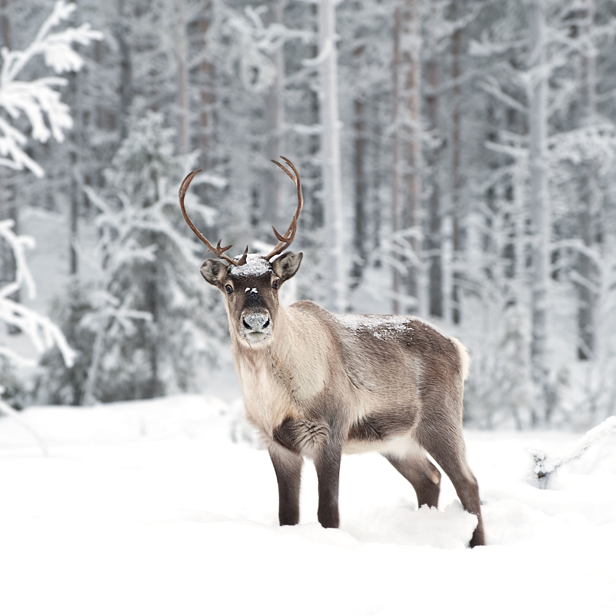 5 Interesting Facts About Reindeer | Hayden\'s Animal Facts