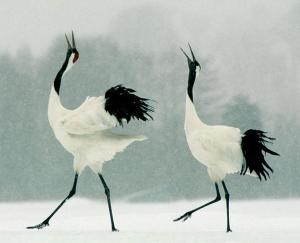 Here are two Japanese cranes dancing with each other