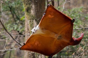 Giant Flying Squirrel