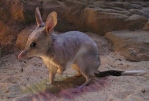 Greater Bilby