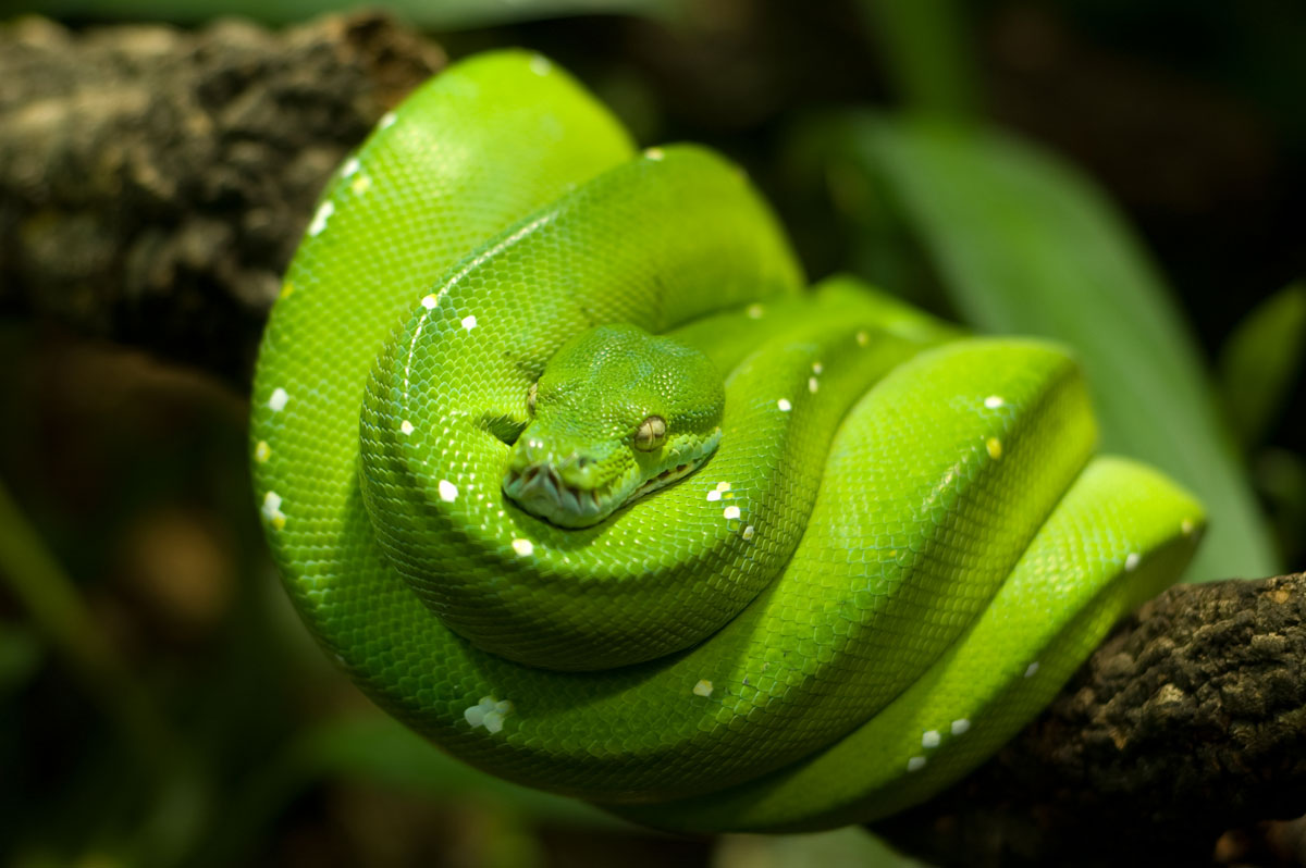 5 Interesting Facts About Green Tree Pythons | Hayden's ...