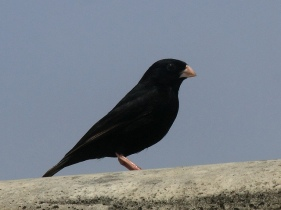 This is a male quailfinch indigobird looking for something to eat