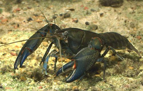 5 Interesting Facts About Yabbie Crayfish | Hayden's ... Crayfish Facts