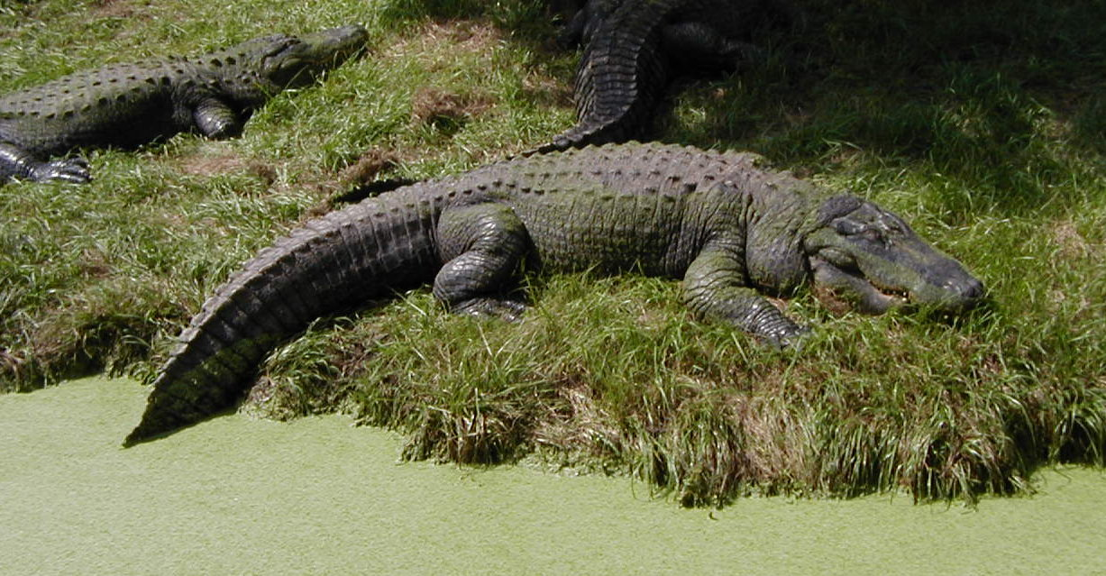 a look at the adaptations of the american alligator Read about alligator mississippiensis (alligator, gator, american alligator, florida alligator, mississippi alligator, louisiana alligator) on the animal diversity web.