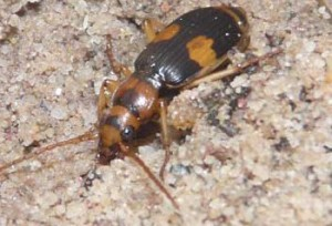 Australian Bombardier Beetle