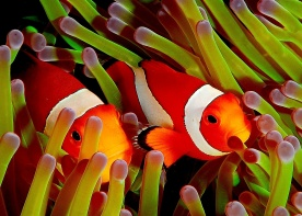 Here are 2 ocellaris clownfish hiding in an anemone