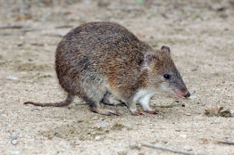 Here is a southern brown bandicoot looking for some food