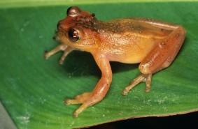 Zetek's Treefrog