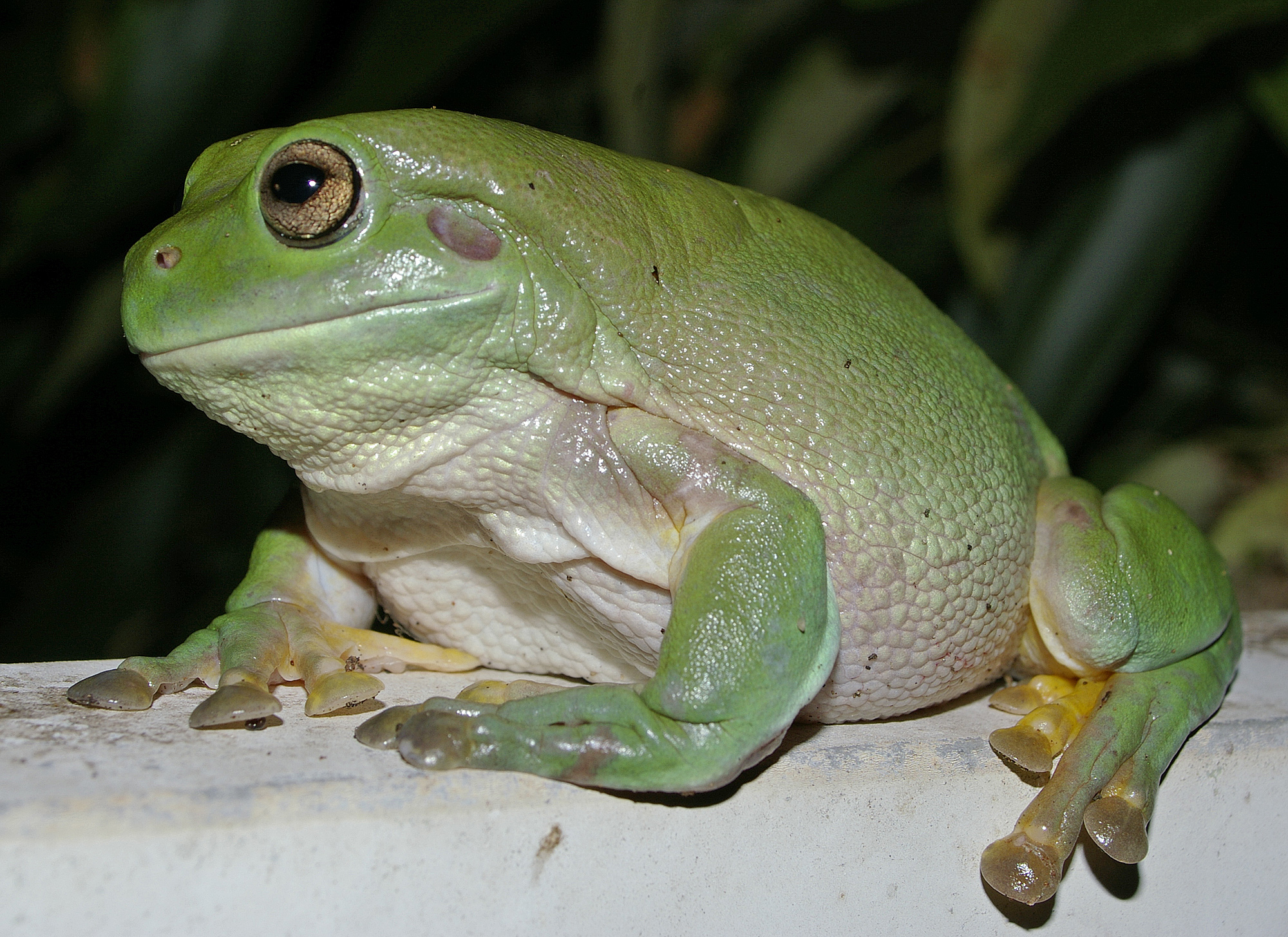 5 Interesting Facts About Australian Green Tree Frogs Haydens