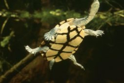 Here is an eastern long-necked turtle showing off his long neck