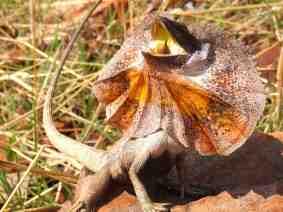 frill-necked lizard