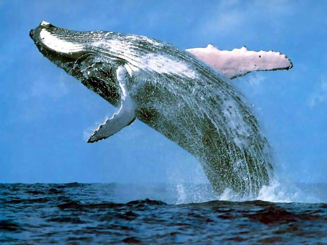 5 Interesting Facts About Blue Whales | Hayden's Animal Facts