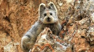 5 interesting facts about ili pikas hayden s animal facts