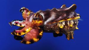 Pfeffer's Flamboyant Cuttlefish