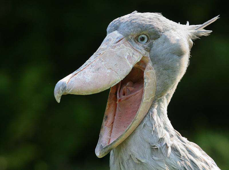 5 Interesting Facts About Shoebills | Hayden's Animal Facts Nest