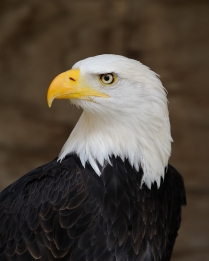 Here is a majestic looking bald eagle
