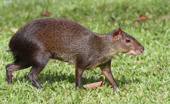 5 Interesting Facts About Central American Agoutis ...